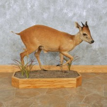 Natal Red Duiker Life-Size Mount For Sale #15089 @ The Taxidermy Store