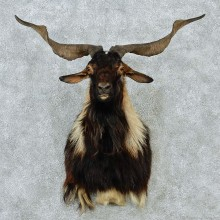 New Zealand Spanish Goat Shoulder Taxidermy Head Mount #12847 For Sale @ The Taxidermy Store
