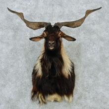 New Zealand Spanish Goat Shoulder Mount