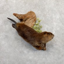 North American Beaver Mount For Sale #18878 @ The Taxidermy Store