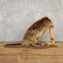 North American Beaver Taxidermy Mount For Sale