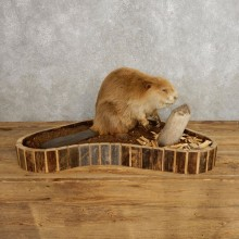North American Beaver Mount For Sale #21236 @ The Taxidermy Store