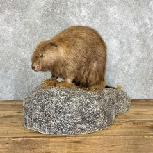 North American Beaver Mount For Sale #22365 @ The Taxidermy Store
