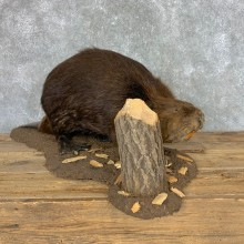 North American Beaver Mount For Sale #22479 @ The Taxidermy Store