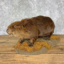 North American Beaver Mount For Sale #22874 @ The Taxidermy Store