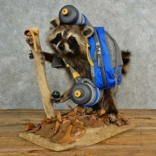 Novelty Raccoon Life-Size Taxidermy Mount For Sale