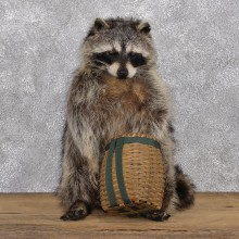 Novelty Raccoon Mount with Basket #12391 For Sale @ The Taxidermy Store