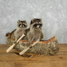 Canoeing Raccoons Novelty Mount For Sale #181478 @ The Taxidermy Store