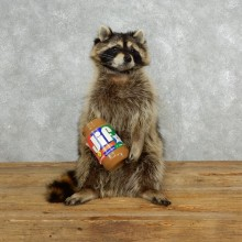 Novelty Raccoon Taxidermy Mount For Sale