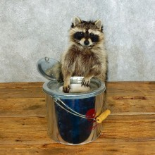 Raccoon Life-Size Mount For Sale #18495 @ The Taxidermy Store