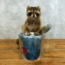 Raccoon Life-Size Mount For Sale #18496 @ The Taxidermy Store