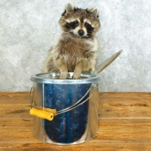Raccoon Life-Size Mount For Sale #18499 @ The Taxidermy Store