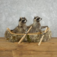 Canoeing Raccoons Novelty Taxidermy Mount For Sale