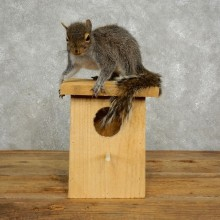 Novelty Squirrel & Birdhouse Taxidermy Mount For Sale