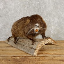 Nutria Life Size Taxidermy Mount #20380 For Sale @ The Taxidermy Store