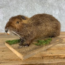 Nutria Life Size Taxidermy Mount #21424 For Sale @ The Taxidermy Store