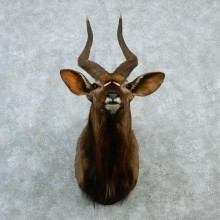 African Nyala Taxidermy Shoulder Mount #12922 For Sale @ The Taxidermy Store