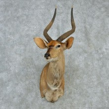 African Nyala Shoulder Mount