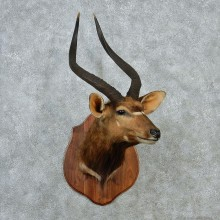 African Nyala Taxidermy Shoulder Mount #12888 For Sale @ The Taxidermy Store