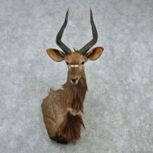 African Nyala Taxidermy Shoulder Mount #12891 For Sale @ The Taxidermy Store