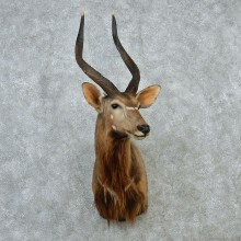 African Nyala Taxidermy Shoulder Mount #12892 For Sale @ The Taxidermy Store