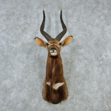 African Nyala Taxidermy Shoulder Mount #12893 For Sale @ The Taxidermy Store