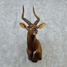 African Nyala Taxidermy Shoulder Mount #12895 For Sale @ The Taxidermy Store