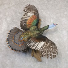 Ocellated Turkey Bird Mount For Sale #22507 @ The Taxidermy Store