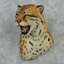 Ocelot Taxidermy Shoulder Mount #12921 For Sale @ The Taxidermy Store