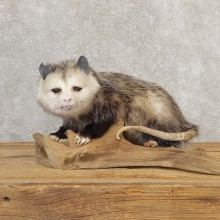 Opossum Life-Size Taxidermy Mount For Sale #20812 @ The Taxidermy Store