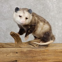 Opossum Life-Size Taxidermy Mount For Sale #21127 @ The Taxidermy Store