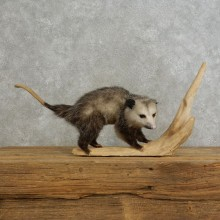 Opossum Life Size Taxidermy Mount For Sale #17203 @ The Taxidermy Store