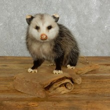Opossum Life Size Taxidermy Mount For Sale