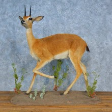 African Oribi Life-Size Mount For Sale #15503 @ The Taxidermy Store