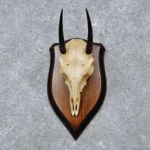 Oribi Skull & Horn European Mount For Sale #14512 @ The Taxidermy Store