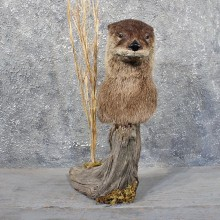 River Otter Pedestal Mount #11709 - The Taxidermy Store