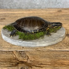 Painted Turtle Taxidermy Mount For Sale - #21375