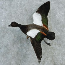 Paradise Shelduck Life Size Taxidermy Mount M1 #12813 For Sale @ The Taxidermy Store