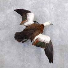 Paradise Shelduck Bird Mount For Sale #18677 @ The Taxidermy Store
