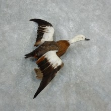 Paradise Shelduck Life Size Taxidermy Mount #18053 For Sale @ The Taxidermy Store