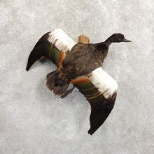 Paradise Shelduck Life Size Taxidermy Mount #19715 For Sale @ The Taxidermy Store
