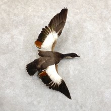 Paradise Shelduck Life Size Taxidermy Mount #19716 For Sale @ The Taxidermy Store