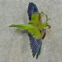 Monk Parakeet Bird Mount For Sale #16652 @ The Taxidermy Store