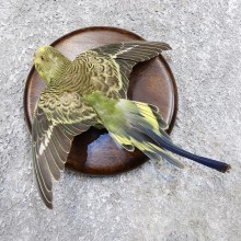 Parakeet Bird Mount For Sale #18588 @ The Taxidermy Store