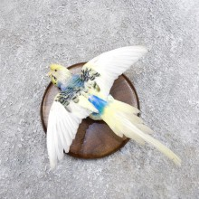 Parakeet Bird Mount For Sale #18590 @ The Taxidermy Store