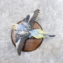Parakeet Bird Mount For Sale #18591 @ The Taxidermy Store