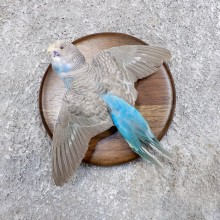 Parakeet Bird Mount For Sale #18593 @ The Taxidermy Store