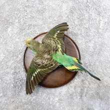 Parakeet Bird Mount For Sale #18594 @ The Taxidermy Store