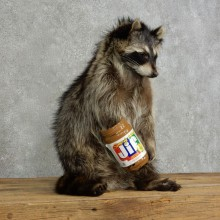 """Peanut Butter"" Raccoon Mount For Sale #17120 @ The Taxidermy Store"