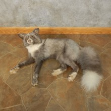 Pearl Fox Laying Life-Size Mount For Sale #17826 @ The Taxidermy Store
